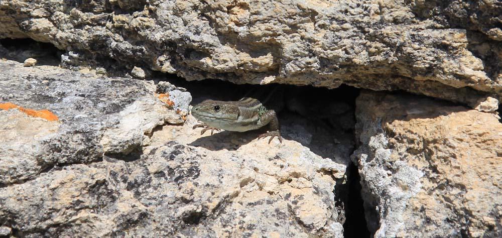 Ящерица в Эпидавре